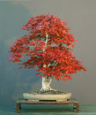Free Japanese Maple Bonsai Royalty Free Stock Images - 2753329
