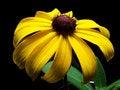 Free Closeup Of One Blackeyed Susan Royalty Free Stock Photos - 2754068