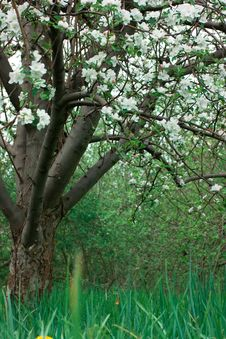 Free Apple Trees Royalty Free Stock Photography - 2750837