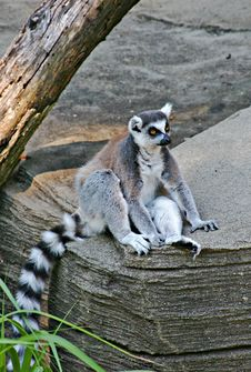 Free Lemur Stock Photography - 2750932
