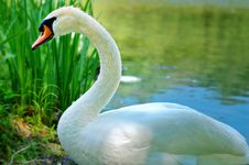 Free Bright White Swan Royalty Free Stock Photo - 2751595