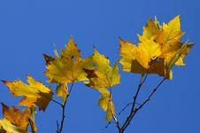 Free Plane-tree Leafs Stock Image - 2753481