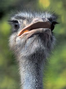 Free Portrait Of The Ostrich Royalty Free Stock Photography - 2753577