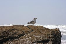 Seagulls On The Rocks Royalty Free Stock Images