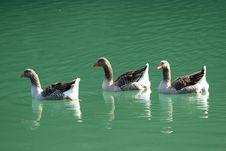 Free Three Gooses Royalty Free Stock Photo - 2754905