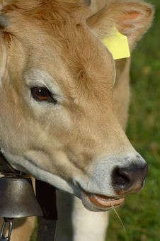 Free Young Jersey Cow Stock Images - 2755034