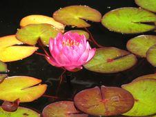 Free Pink Lotus Blossom Royalty Free Stock Photo - 2755105