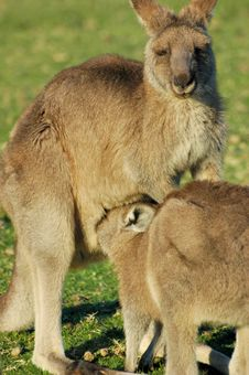 Free Kangaroo Momma And Joey Royalty Free Stock Photography - 2755237