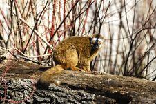 Free Lemur Stock Photos - 2755363