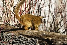 Free Lemur Stock Photo - 2755380