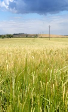 Free Barley Field Royalty Free Stock Photography - 2755827