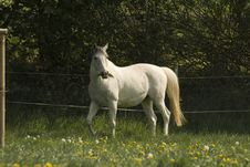 Free White Horse In The Pasture Royalty Free Stock Image - 2755956
