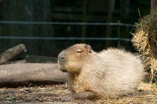 Free Resting Capybara Royalty Free Stock Photography - 2755997