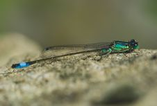 Free Blue Damselfly In The Sun Royalty Free Stock Photography - 2756037