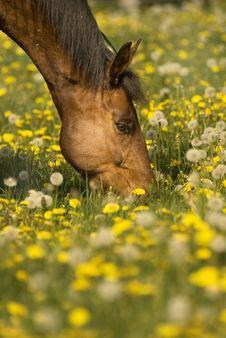 Free Grazing Brown Horse Stock Photo - 2756360