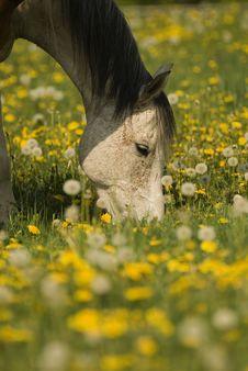 Free Grazing White Horse Stock Photo - 2756460