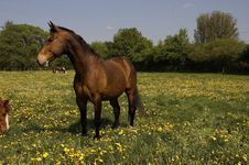 Free Attentive Brown Horse Stock Photo - 2756680