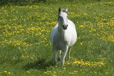 Free Highspeed White Horse Royalty Free Stock Images - 2757019