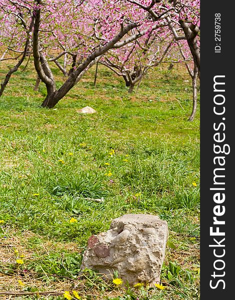 Clumps of peach blossom