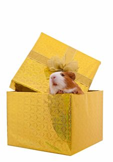 Guinea Pig In The Present Box Isolated On  White B Stock Photo