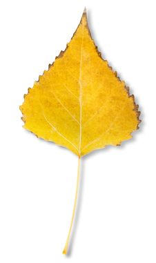 Free Birch Leaf Royalty Free Stock Image - 27502896
