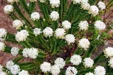 Free West Australian Native Wildflower White Pimelia Royalty Free Stock Photography - 27504377
