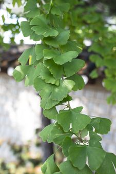 Free Ginkgo Leaves Royalty Free Stock Image - 27509346