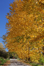 Free Autumn Trees Royalty Free Stock Images - 27514199