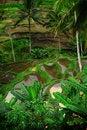Free Paddy Field Bali Stock Image - 27519411
