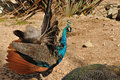 Free An Indian Peafowl Stock Photography - 27519802