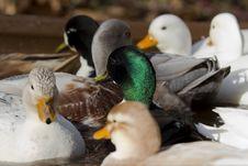 Free Mini Ducks Royalty Free Stock Image - 27510466