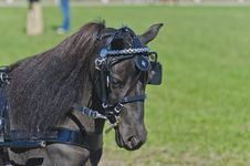Free Head Of Miniature Horse In Harness Stock Photos - 27515783