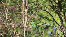 Bee-eater Greens - African Birds Royalty Free Stock Photo