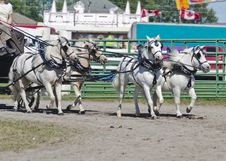 Free Team Of White Miniatures Horse In Harness Stock Photos - 27515983