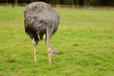 An Ostrich Looking For Food Stock Photos