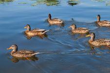 Free Ducks Royalty Free Stock Image - 27516886