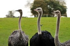 Three Ostriches Royalty Free Stock Image
