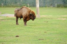 Free European Bison Stock Image - 27517411