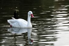 Free Swan In A Pond Stock Photography - 27517802