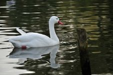 Free A White Swan In A Pond Royalty Free Stock Photography - 27517867