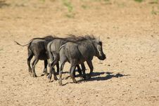 Free Warthog - Three Little Pigs Went To Town Stock Photos - 27518043