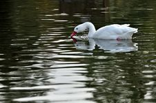 Free A Lone White Swan In A Pond Stock Photo - 27518080