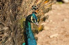 Free Portrait Of An Indian Peafowl Stock Photo - 27519700