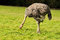 Free Ostrich Pecking The Grass Stock Photos - 27516783