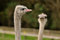 Free An Ostrich Couple Stock Photo - 27516980