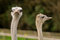 Free Ostrich Couple Stock Photo - 27517040