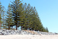 Free Line Of Green Pine Trees At Beach Royalty Free Stock Photography - 27520947
