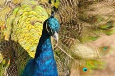 Portrait Of A Peacock Stock Photography