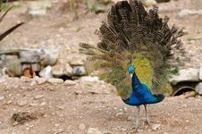 Free Indian Peafowl Posing Stock Images - 27520444