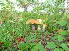 Mushrooms On A Lawn Cowberry Stock Photos